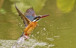 common kingfisher catch fish in flight in natural habitat,Alcedo atthis