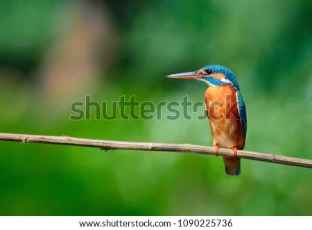 Common Kingfisher Female [Alcedo atthis] Eurasian kingfisher and river kingfisher.Bird sitting on a branch in Danube Delta-Romania