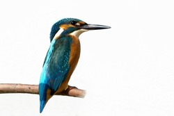 Common Kingfisher isolated on white background,  alcedo atthis