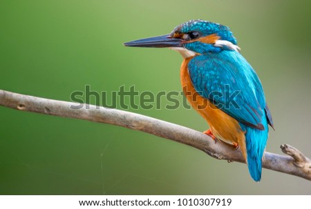 Common Kingfisher Male [Alcedo atthis]  Eurasian kingfisher and river kingfisher.Bird sitting on a branch.Birds of Europe.Poland