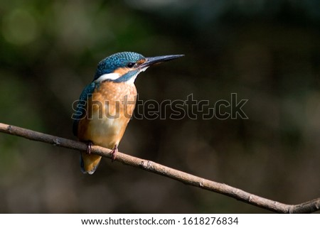 Common Kingfisher-The Common Kingfisher (Alcedo atthis) also known as Eurasian Kingfisher or River Kingfisher, is a small kingfisher with seven subspecies recognized within its wide distribution acros