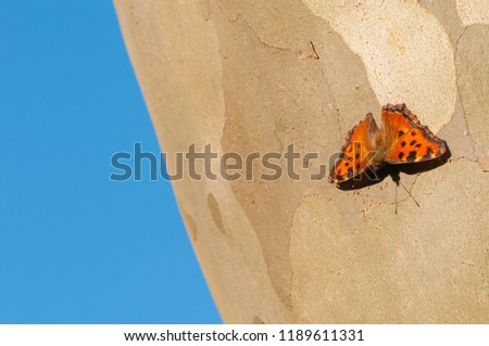 Common leopard butterfly on a trunk of sycamore tree and blue background #1189611331