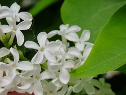 Common lilac Syringa vulgaris with single white flowers and green leaves. Lucky charm flower with 5 petals in centre
