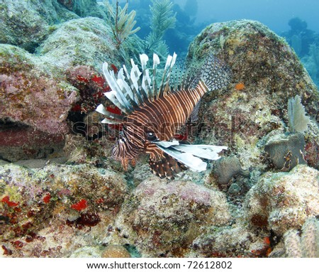 common lionfish , devil firefish, scorpionfish or dragonfish, roatan, honduras