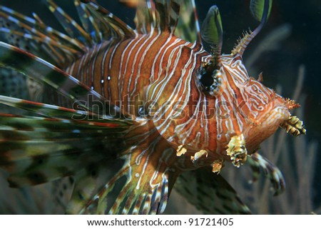 Common lionfish in the tropical waters of the indian ocean