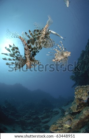 Common Lionfish (Pterois miles), Three adult fish hunting a school of small bait fish Red Sea, Egypt.