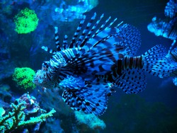 Common Lionfish {Pterois volitans} is an invasive species in the Caribbean. Fish blue Pterois volitans at deep ocean close-up.