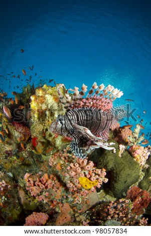 common lionfish - pterois volitans, Komodo national park, Indonesia