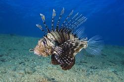 Common Lionfish (Pterois volitans) Underwater photo.