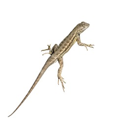 Common Lizard, isolated on white.