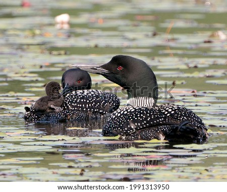 Common Loon and baby chick loon riding on parent's back and celebrating the new life with water lily pads in their environment and habitat. Baby Loon Riding On Back. Loon Picture.  Stockfoto ©