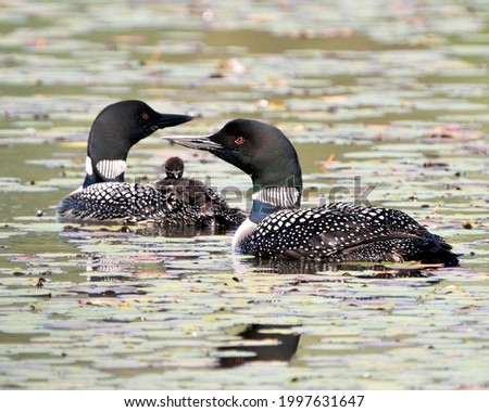 Common Loon and baby chick loon riding on parent's back and celebrating the new life with water lily pads in their environment and habitat surrounding. Loon Picture. Image. Photo Baby Loon. Stockfoto ©