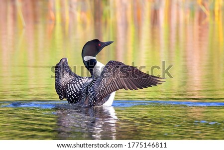 Common Loon breaching the water to stretch and dry its feathers in the morning on White Lake, Ont, Canada Stockfoto ©