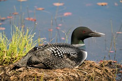 Common Loon close-up view nesting on its nest with marsh grasses, mud and water  in its environment and habitat.  Loon on Nest. Loon in Wetland. Loon on Lake Image. Picture. Portrait. Photo.