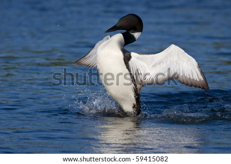 common loon flaps his wings as he attempts to discourage nearby enemy