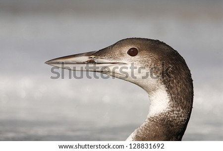 Common Loon, Great Northern Diver, gavia immer, in winter plumage, Columbia River, Washington state.  close up detailed head portrait Pacific Northwest Nature bird and wildlife photography
