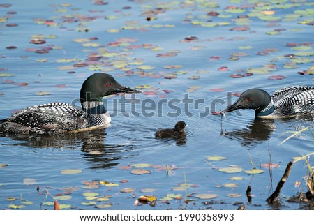 Common Loon parents and baby loon swimming with water lily pads and celebrating the miracle new life in their habitat surrounding and environment. Loon Picture. Image. Portrait. Photo. Stockfoto ©