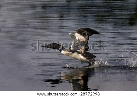 common loon cartoon. common loon cartoon. common