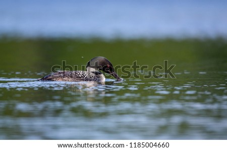Common loon swimming in a lake in the Laurentians, north Quebec Canada.