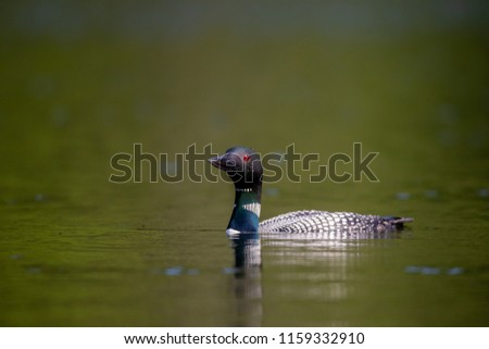 Common loon swimming on a lake in north Quebec Canada.