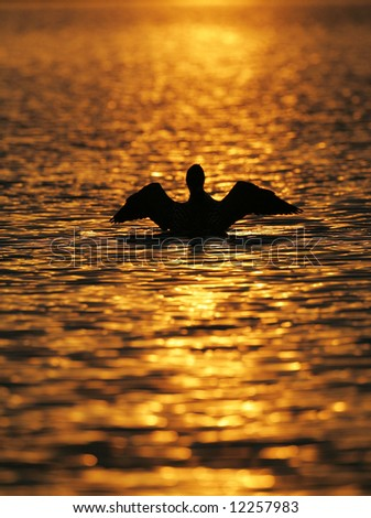 Common Loon Wing Flap Silhouetted against the Setting Sun