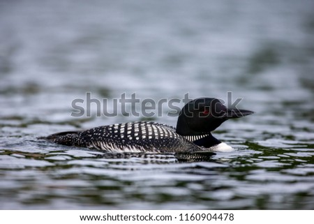Common loons swimming on a lake in north Quebec Canada.