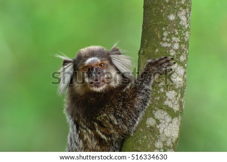 Common marmoset (Callithrix jacchus)  hanging on a tree branch.
