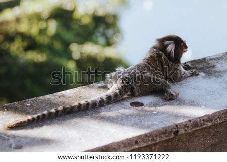 Common marmoset [Callithrix jacchus] in Rio de Janeiro