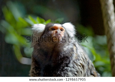 Common Marmoset in forest