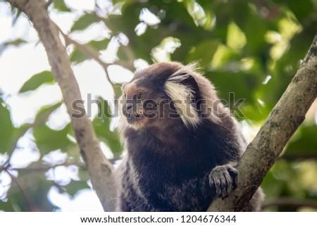Common marmoset monkey at Urca Mountain trail - Rio de Janeiro, Brazil