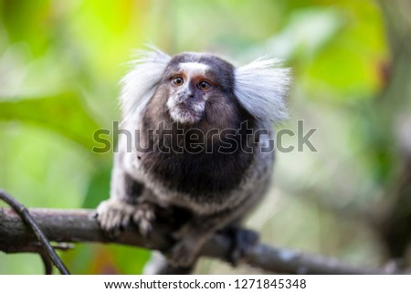 Common marmoset Sagui monkey sitting on a branch looking up showing its haircut and well formed hand in a tropical forest in Rio de Janeiro with an out of focus green background