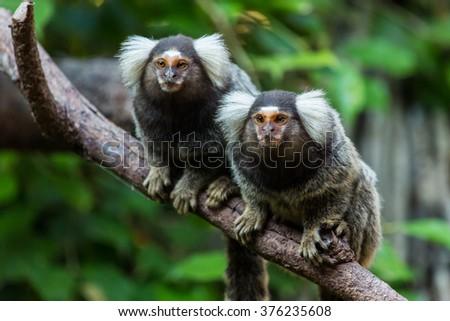 Common marmoset small monkey