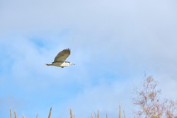Common Martinet (Nycticorax nycticorax) flying over a wetland area in southern Spain with a sky with some gray clouds.