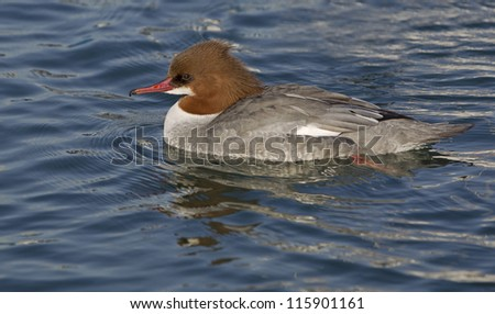 Common Merganser female duck
