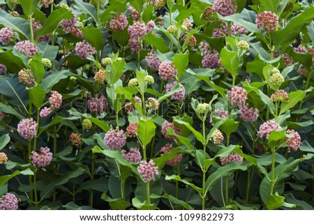 Common milkweed (Asclepias syriaca). Known also as Butterfly Flower, Silkweed, Silky Swallow-wort and Virginia Silkweed.