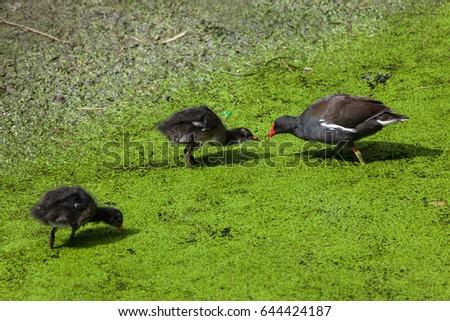 Shutterstock Common moorhen (Gallinula chloropus), also known as the Eurasian moorhen.