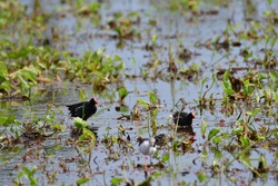common moorhen (Gallinula chloropus), also known as the waterhen or swamp chicken, is a bird species in the rail family (Rallidae). It is distributed across many parts of the Old World.fighting birds.