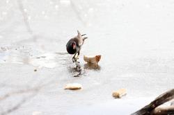 Common moorhen (Gallinula chloropus) walk on ice and eat bread. Waterhen or swamp chicken.