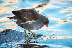 Common moorhen looks at water. Dark wading bird waterhen or swamp chicken with red bill and yellow legs with long toes.