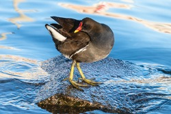 Common moorhen standing on the stone among blue water. Black wading bird waterhen or swamp chicken with red bill and eyes and yellow legs with long toes.