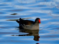 Common moorhen swimming in  the pond. The common moorhen (Gallinula chloropus), also known as the waterhen or swamp chicken, is a bird species in the rail family (Rallidae).