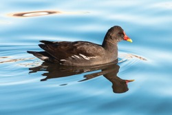 Common moorhen swimming on blue water. Waterhen or swamp chicken is wading bird with black plumage, red bill and eyes.