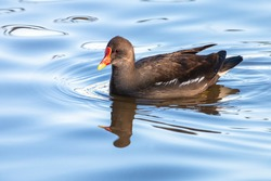 Common moorhen swimming on blue water. Waterhen or swamp chicken is wading bird with black plumage and red bill with yellow tip.