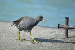 Common Moorhen Waterhen Swamp Chicken Bird