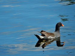 Common Moorhen with a reflection