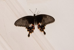 Common mormon butterfly full winged sitting on white wall background inside house. Beautiful jet black butterfly with grey line design and orange dots. beautifully shaped