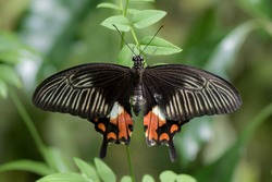 Common Mormon Butterfly on a leaf