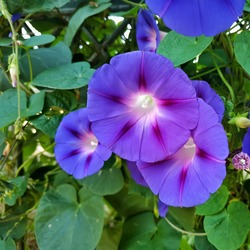 Common morning glory: a species of Morning glories, also known as Tall and Purple morning glory, it's botanical name is Ipomoea purpurea.