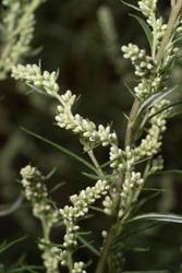 Common mugwort close-up. Artemisia vulgaris, riverside wormwood, felon herb, chrysanthemum weed or wild wormwood.
