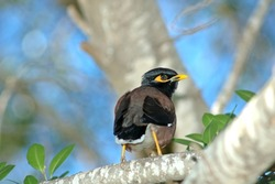 common myna Bird Perched on a branch